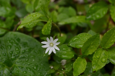 Tennessee Chickweed