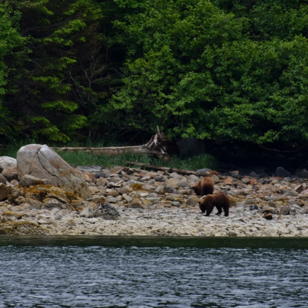 After docking in Sitka, we took a small boat to the Magoun Islands State Marine Park. As we reached the island, we saw a momma bear and her cubs.