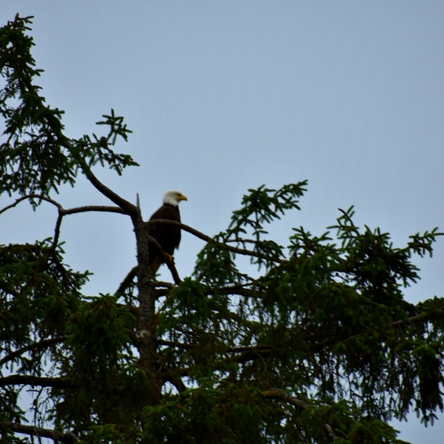 I was hoping to see an eagle at the park, and as I was leaving heard one high in the tree near the entrance.